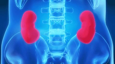 Les reins, un organe à protéger