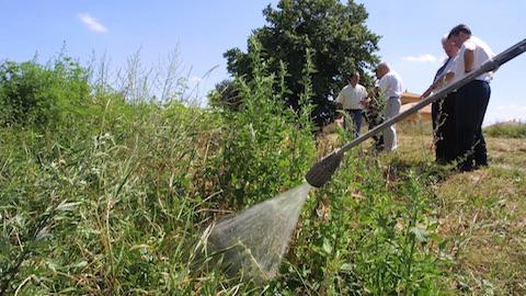 Les commune de Rhône-Alpes s'organisent pour lutter contre l'ambroisie
