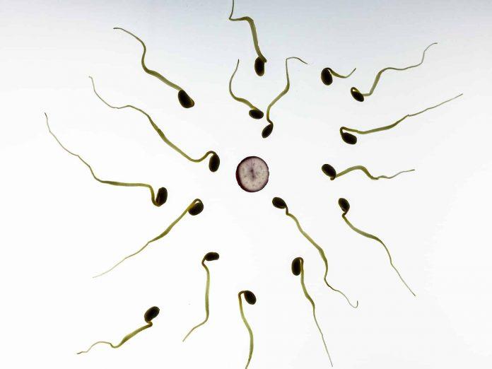 spermatozoid in vitro