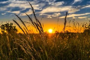 Devant les pollens d'arbre ou d'herbes, les graminées sont les premiers responsables des allergies respiratoires dans notre région. ©F.M./Pixabay