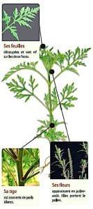 Le plant d'ambroisie se repère facilement